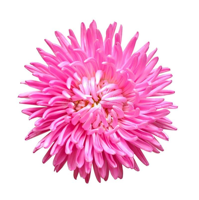 Única cabeça de flor do áster fotos de stock royalty free
