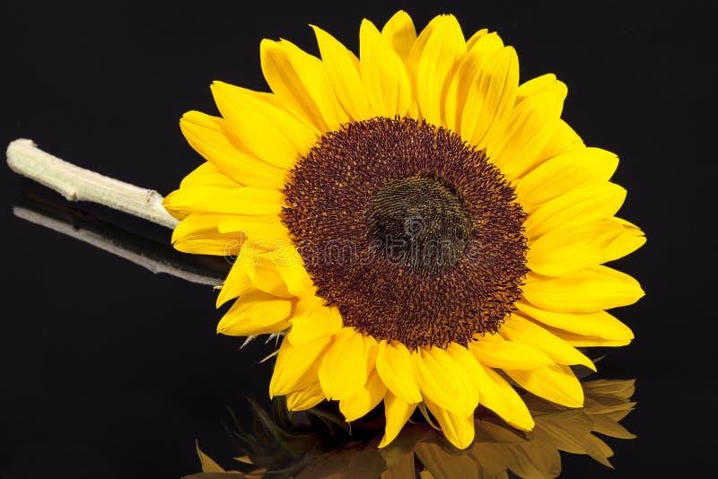 Única cabeça do girassol de florescência isolada no fundo branco fotografia de stock royalty free