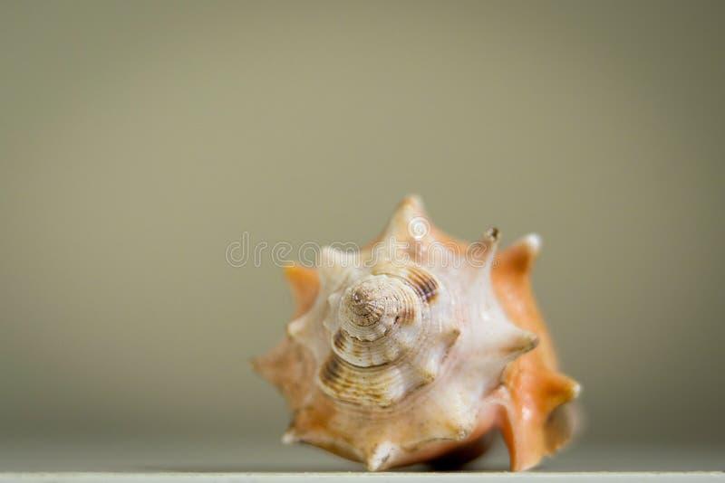 Única concha do mar grande e isolada fotografia de stock