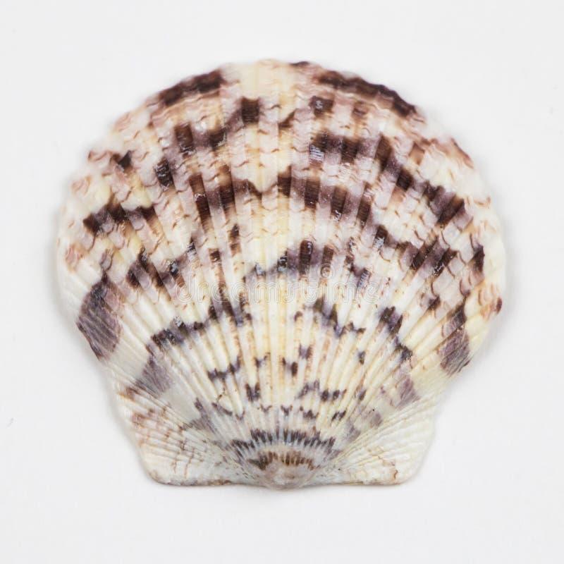 Única concha do mar isolada no branco fotografia de stock