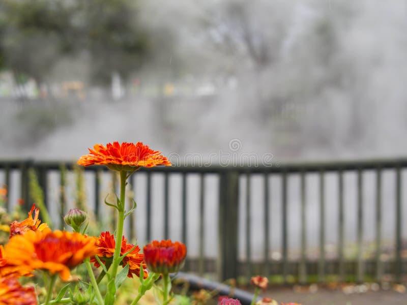 Única flor alaranjada na frente de cozinhar o lago em Rotorua, Nova Zelândia fotos de stock royalty free