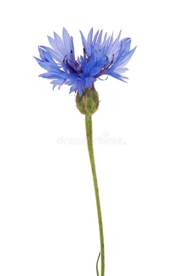 Única flor azul isolada da chicória imagens de stock