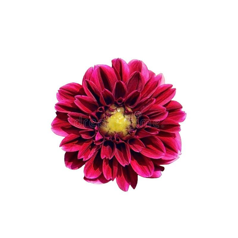 Única flor cor-de-rosa brilhante da dália isolada no fundo branco close-up, vista superior Uma flor roxa bonita com um meio amare imagens de stock royalty free