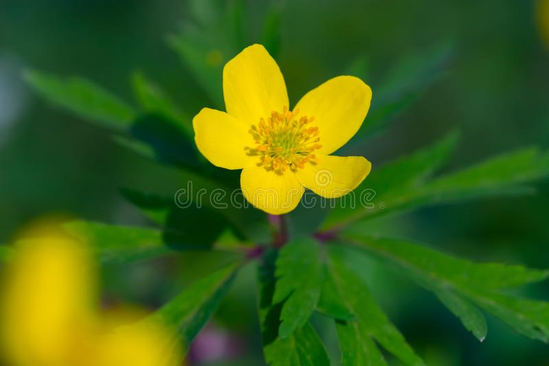 Única flor da anêmona de madeira amarela (ranunculoides da anêmona) Detalhe ascendente próximo de flor amarela da mola que flores foto de stock royalty free