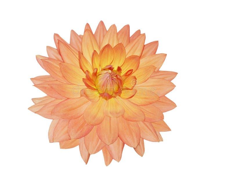 Única flor da dália fotografia de stock royalty free