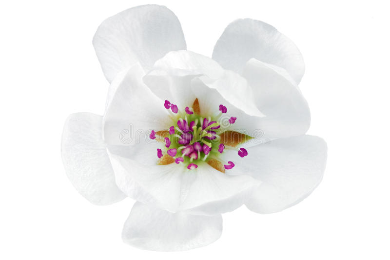 Única flor da magnólia. Isolado no fundo branco. imagens de stock