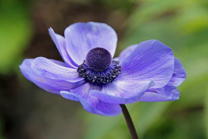 Única flor da papoila fotos de stock royalty free