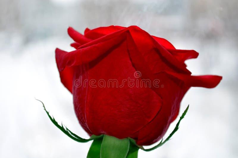 Única flor da rosa do vermelho no fundo branco imagens de stock