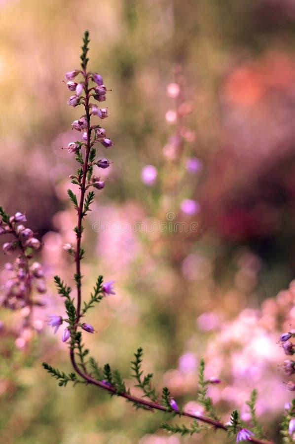 Única flor da urze imagem de stock