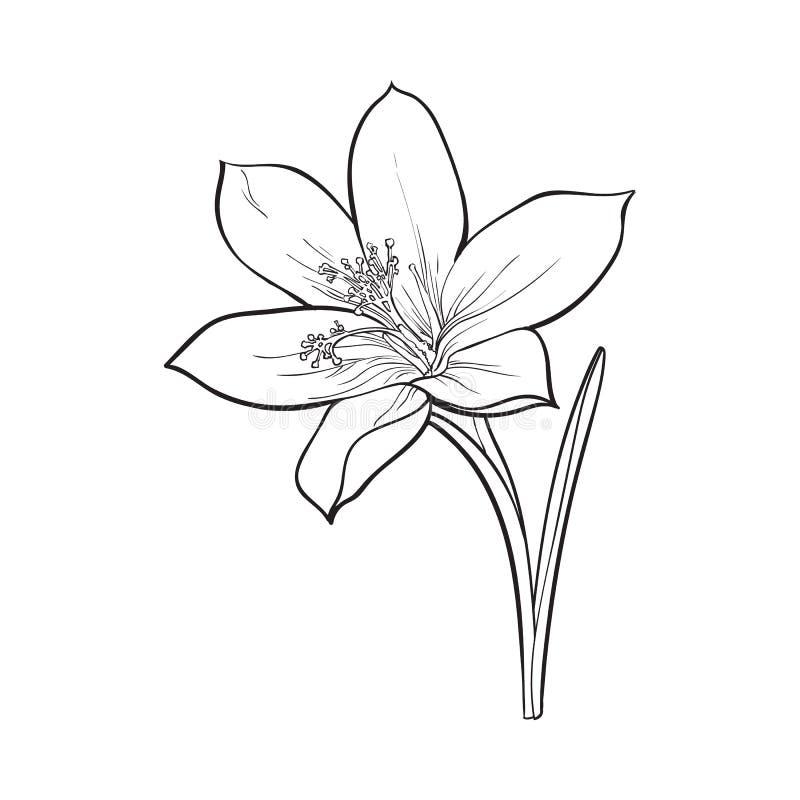 Unica Flor Delicada Da Mola Do Acafrao Com Haste E Folha