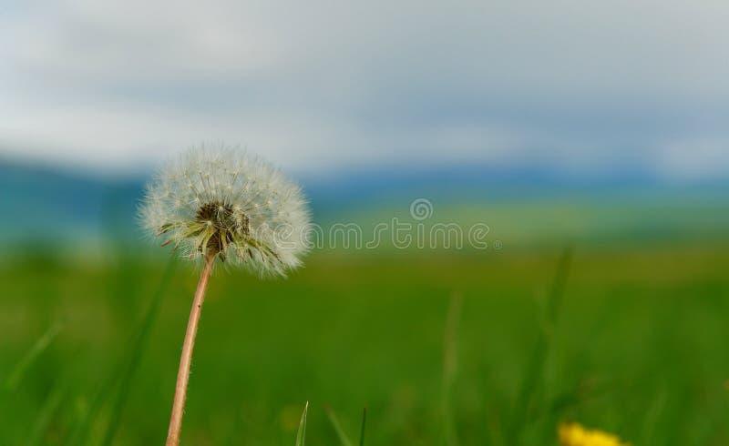 Única flor do dente-de-leão imagem de stock