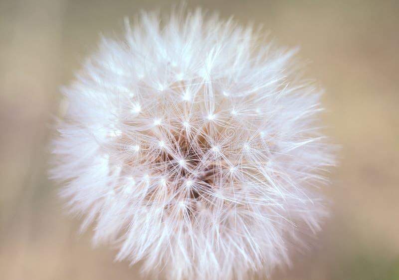 A única flor do dente-de-leão com sementes em um delicado borrou o fundo foto de stock royalty free