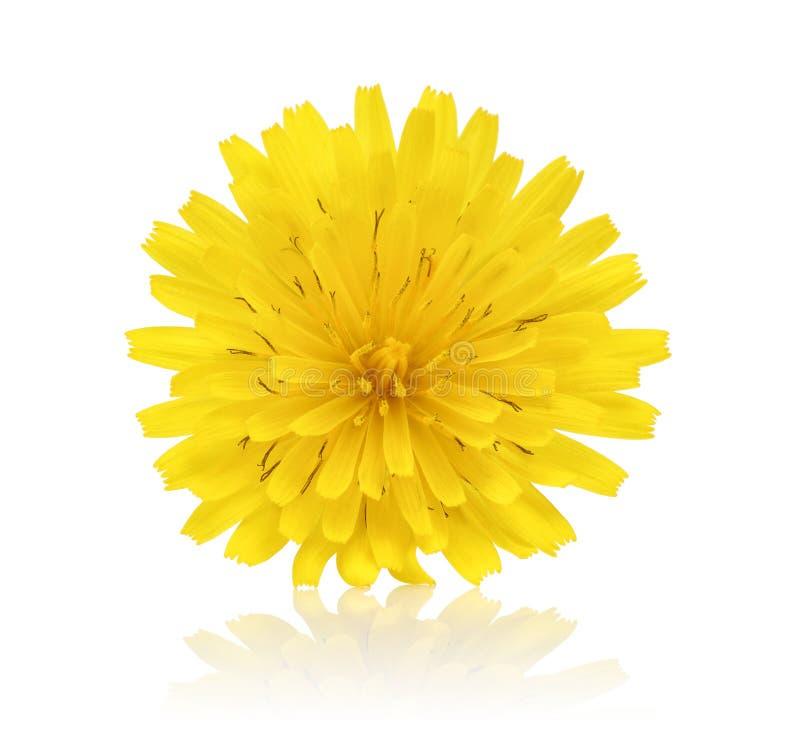 Única flor do dente-de-leão isolada no branco foto de stock