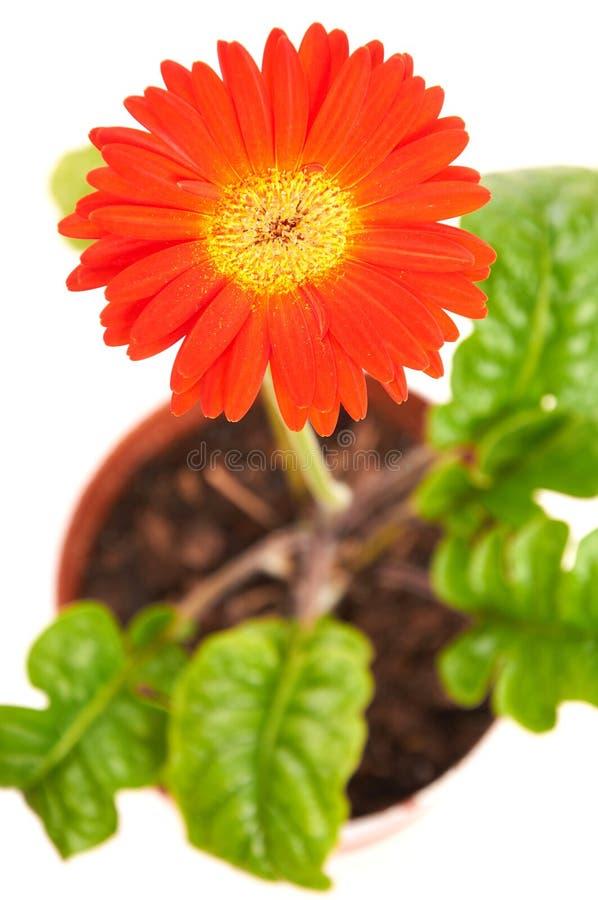 Única flor do gerbera sobre o branco foto de stock royalty free