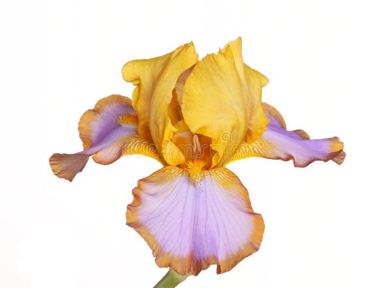Única flor do Lasso de Brown do cultivar da íris fotografia de stock royalty free