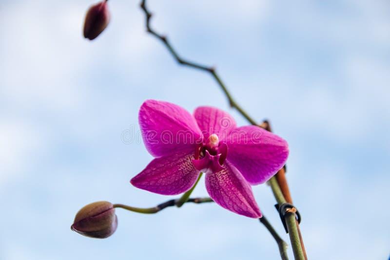 Única flor do Phalaenopsis roxo da orquídea imagens de stock