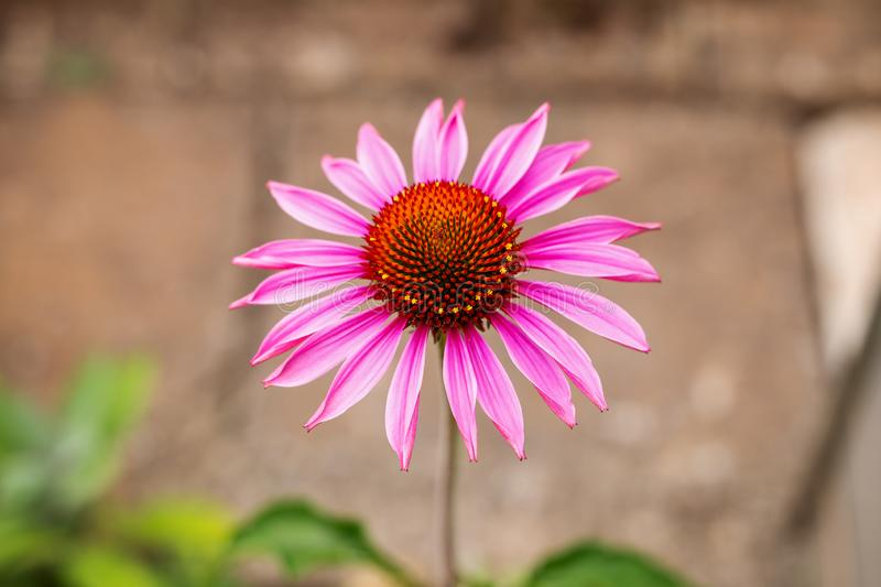 Única flor do purpurea do Echinacea no jardim fotografia de stock