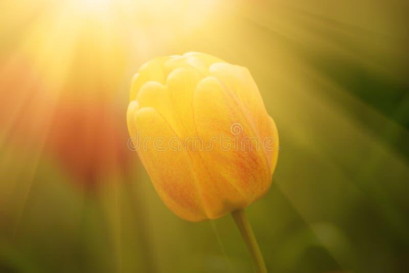 Única flor do tulip imagem de stock