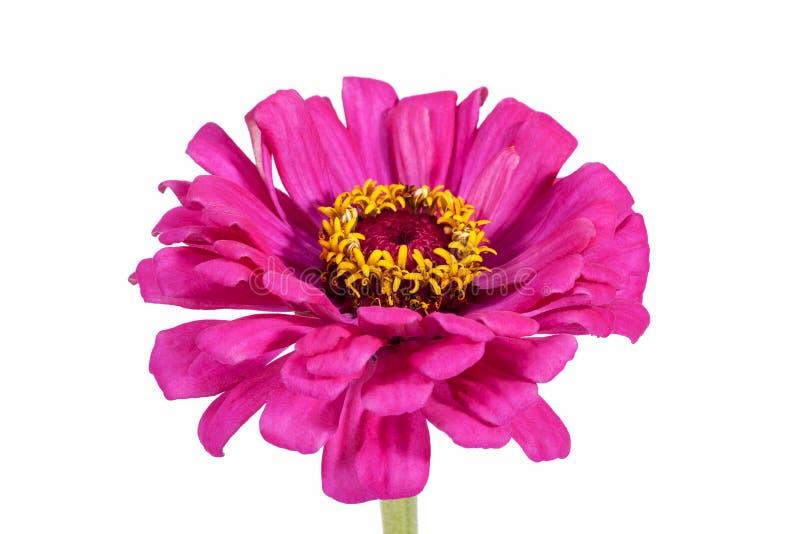 Única flor do zinnia cor-de-rosa isolada no fundo branco fotografia de stock