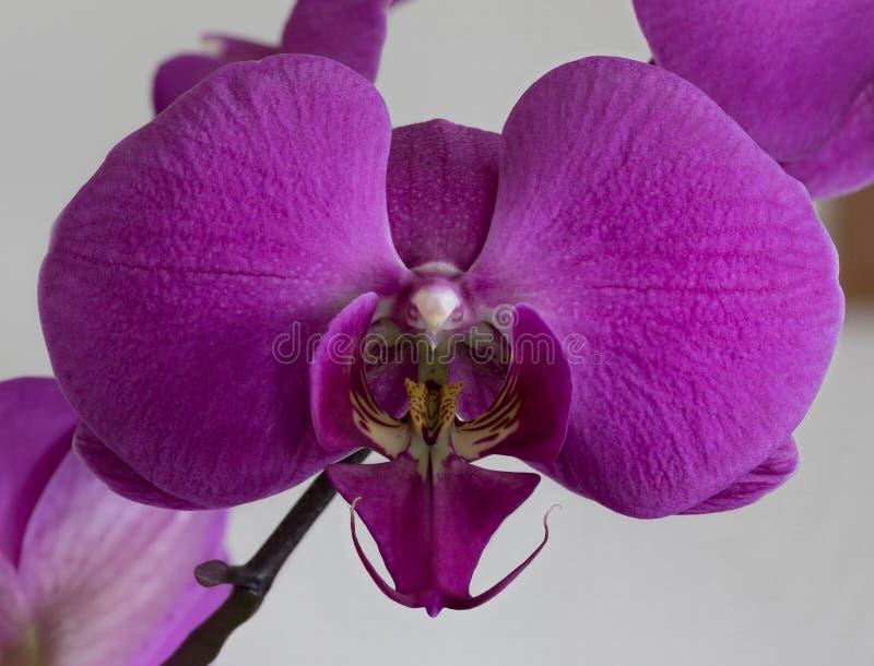 Única flor roxa da orquídea fotografia de stock