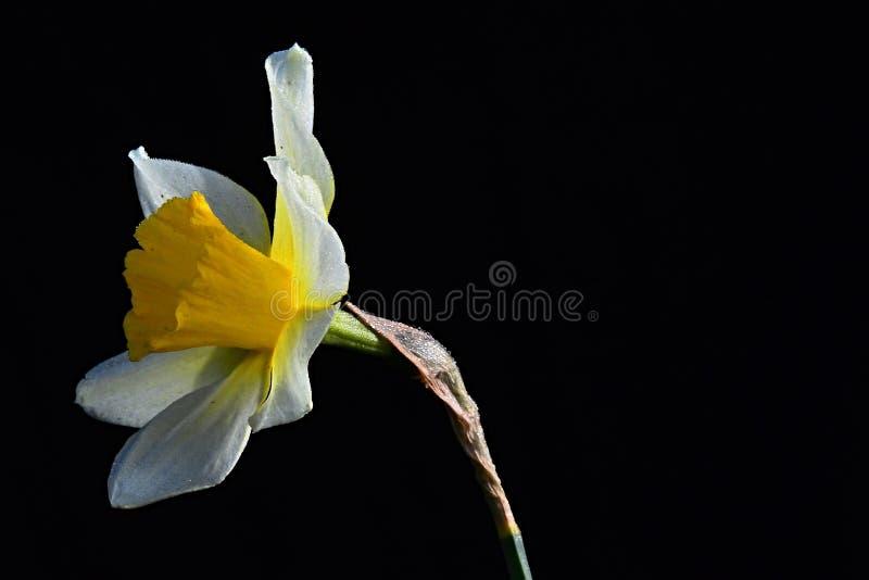 Única flor selvagem amarela Narcissus Pseudonarcissus do narciso amarelo no fundo escuro imagem de stock royalty free