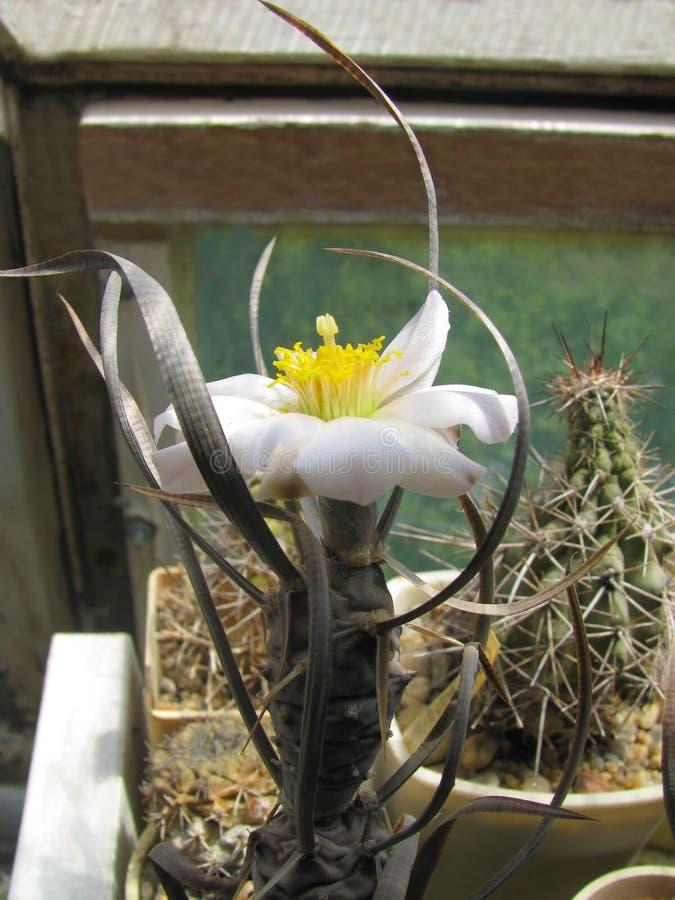 Única floración rara en condiciones interiores de la planta Tephrocactus articulatus var papiracanuro imagenes de archivo
