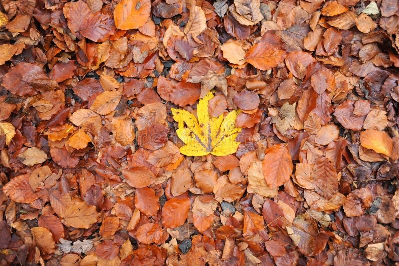 Única folha amarela do outono no meio das folhas marrons Folhas da queda de Brown e somente um amarelo fotografia de stock royalty free