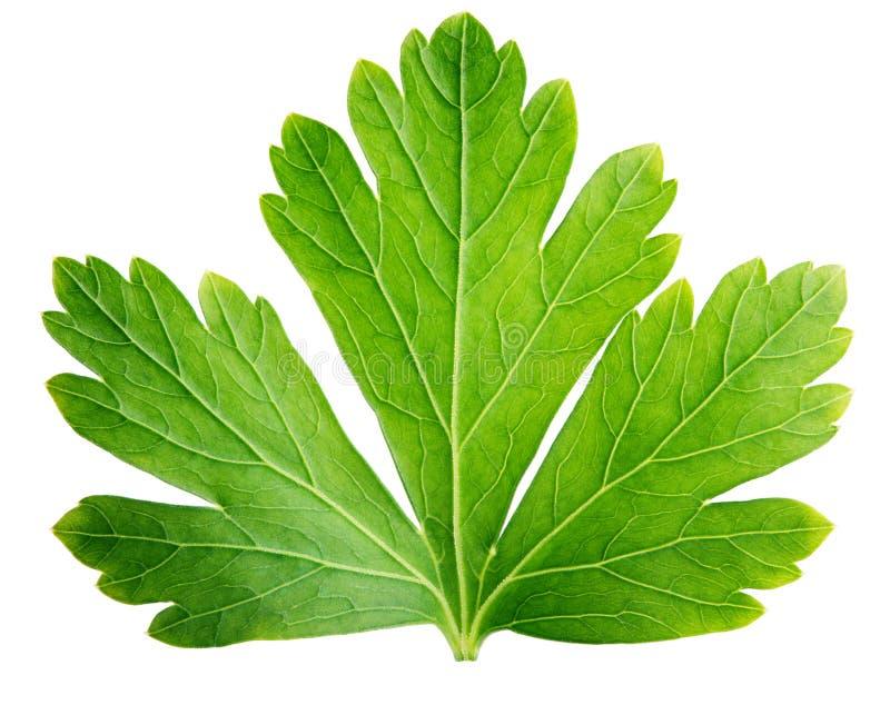 Única folha da erva da salsa (coentro) isolada no branco fotos de stock royalty free