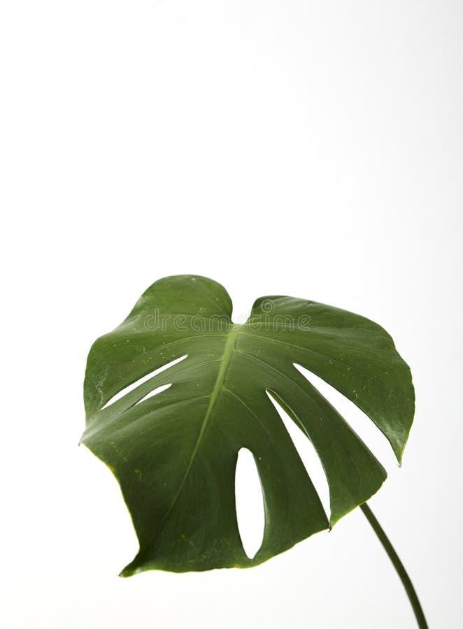 Única folha da planta da palma do deliciosa de Monstera fotos de stock royalty free