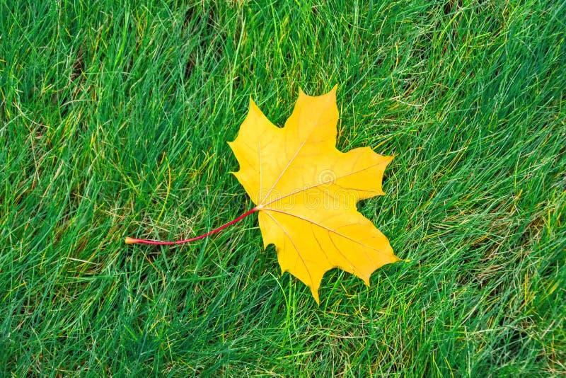 A única folha de bordo amarela está encontrando-se em um prado da grama verde imagens de stock royalty free