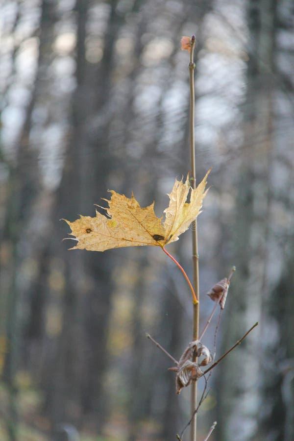 Única folha de bordo amarela outono Paisagem imagem de stock