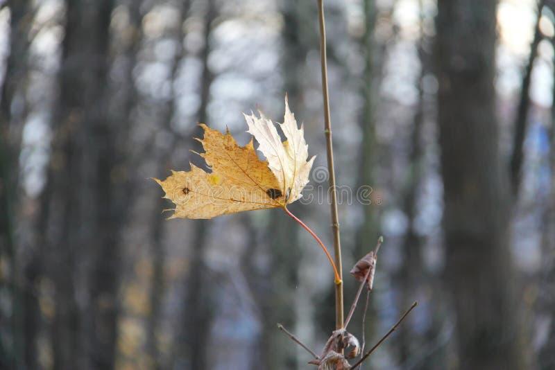 Única folha de bordo amarela outono Paisagem fotos de stock