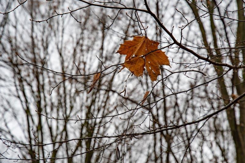 Única folha de bordo seca complicada entre ramos de árvore desencapados imagens de stock royalty free