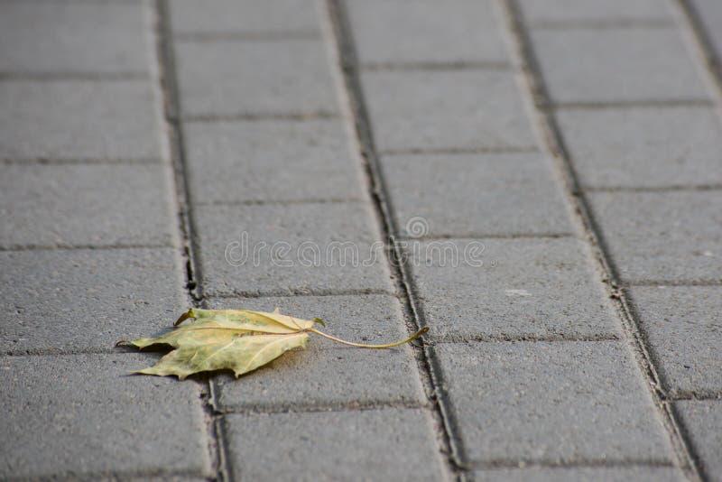 A única folha de bordo seca encontra-se no pavimento do asfalto foto de stock royalty free