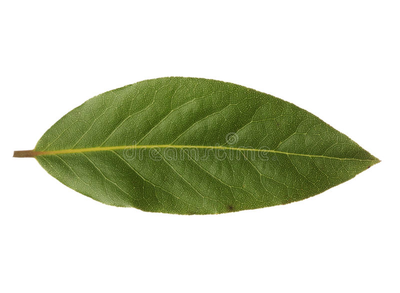 Única folha de louro isolada no fundo branco foto de stock