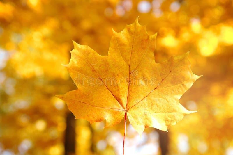Única folha do bordo do amarelo alaranjado com a árvore de floresta no outono ou imagens de stock