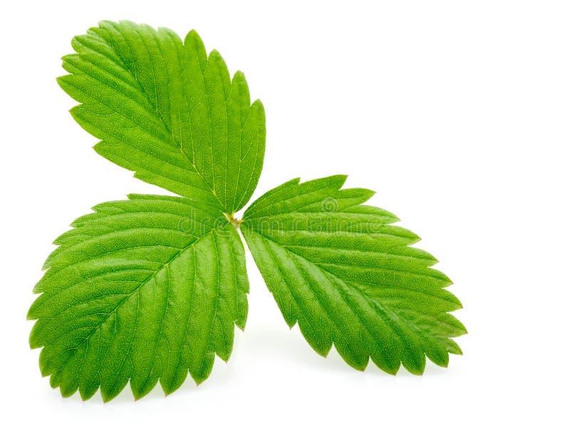 Única folha verde da morango isolada no branco imagem de stock royalty free
