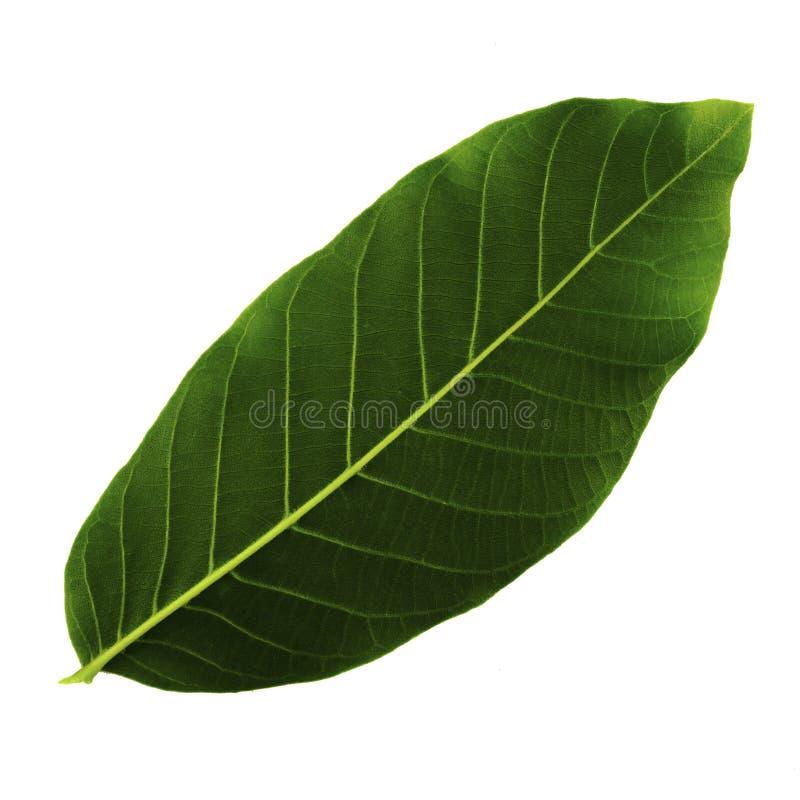 ?nica folha verde da noz isolada no fundo branco, lado inferior da folha imagens de stock