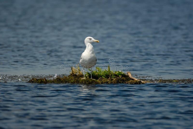 Única gaivota na ilha de flutuação no delta do Danúbio imagens de stock