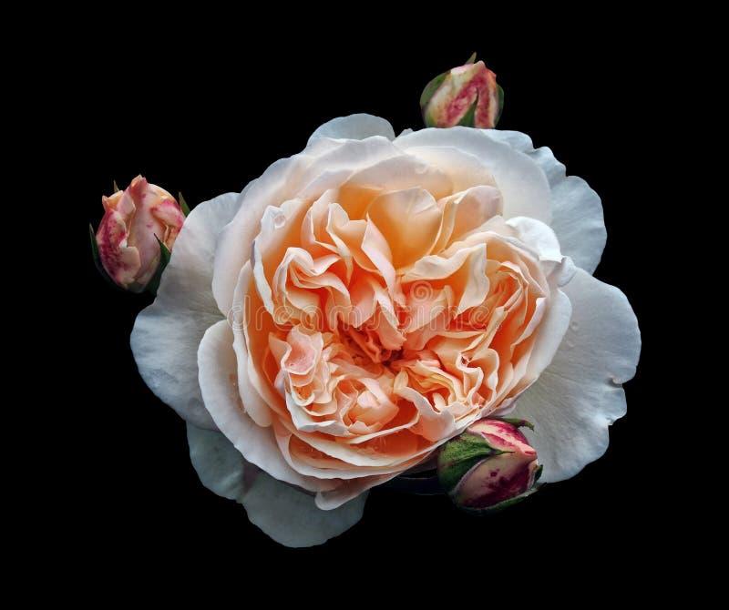 Única grande rosa branca bonita com um centro alaranjado com os rosebuds circunvizinhos isolados em um fundo preto com pingos de  imagem de stock