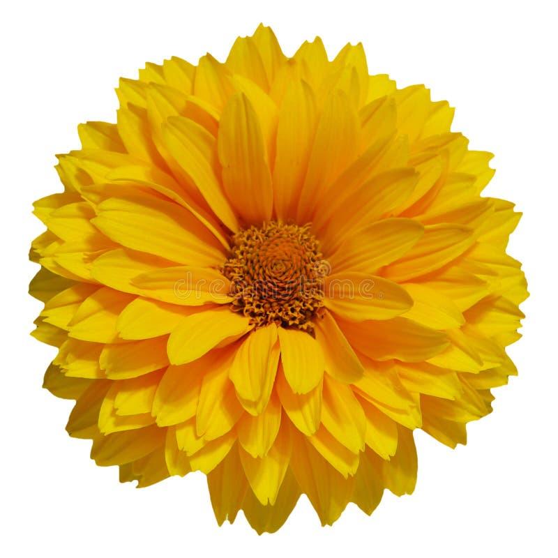 Única margarida amarela imagem de stock royalty free