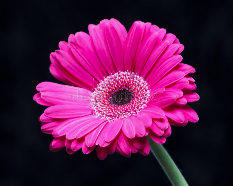 Única margarida do Gerbera fotografia de stock