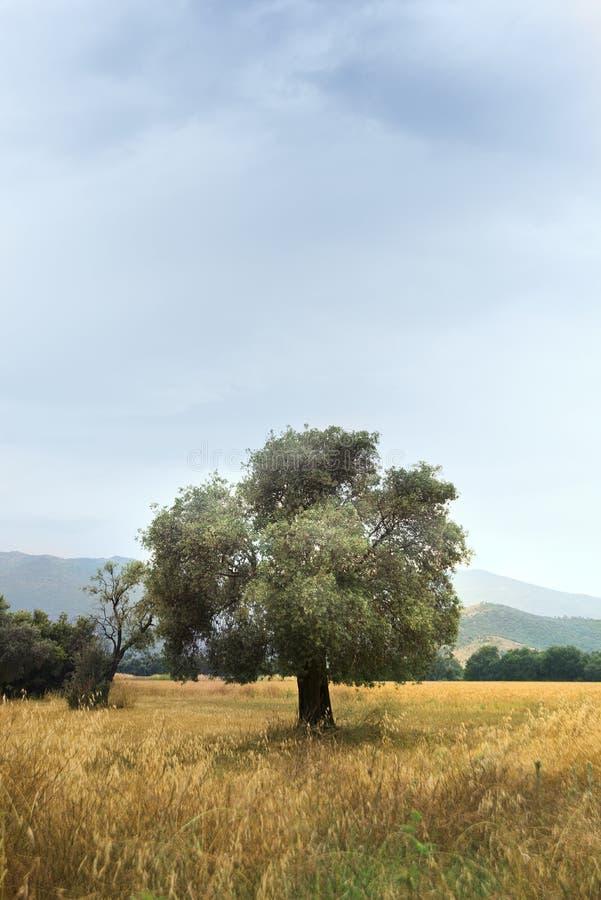 Única oliveira no campo foto de stock royalty free