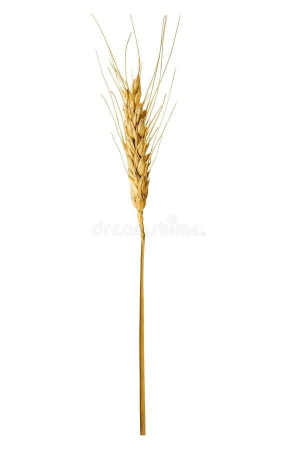 Única orelha do trigo, isolada em um fundo branco fotos de stock royalty free