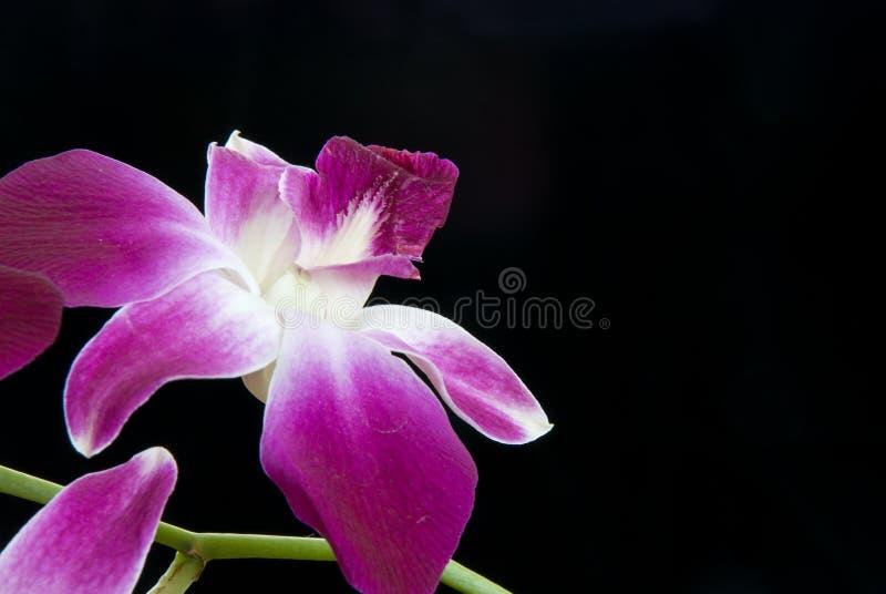 Única orquídea sobre o preto fotografia de stock