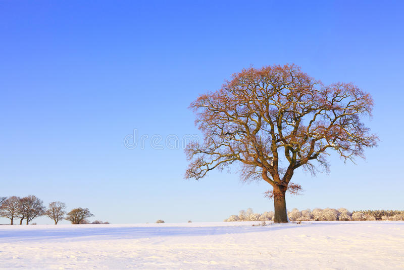 Download Única Paisagem Da Neve Da árvore De Carvalho Foto de Stock - Imagem de azul, sozinho: 16850404