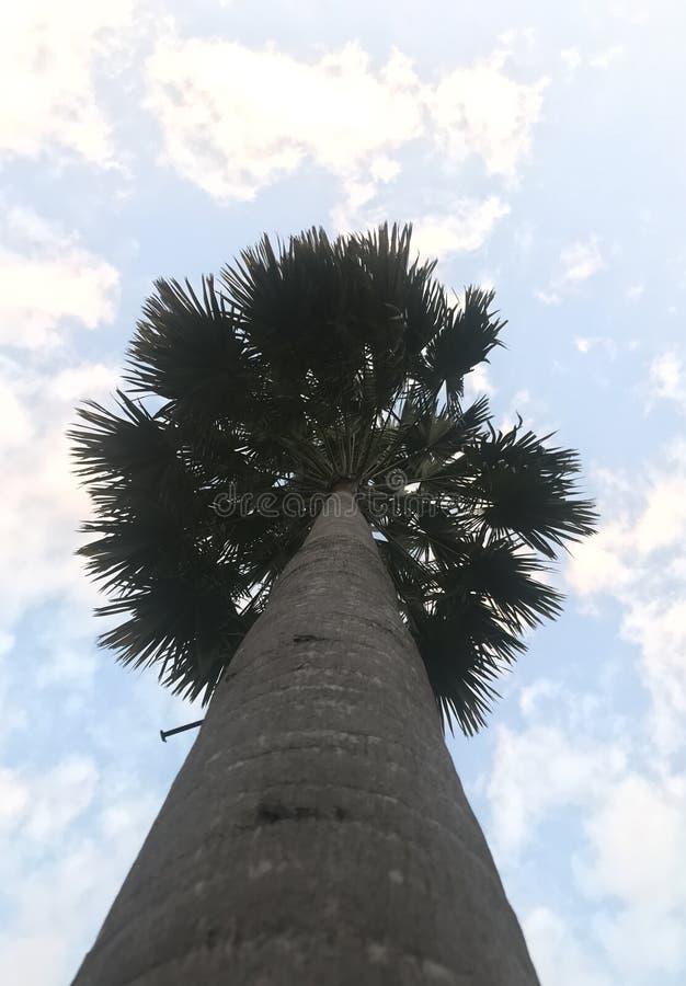 Única palmeira disparada de baixo de fotografia de stock