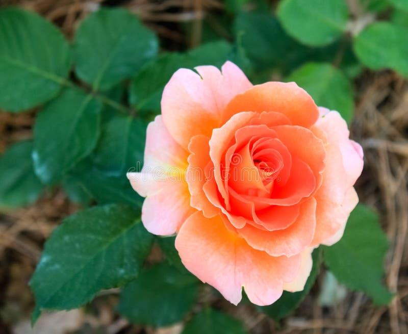 A única paz macia perfeita do foco aumentou contra as folhas verdes - ascendente próximo fotos de stock royalty free