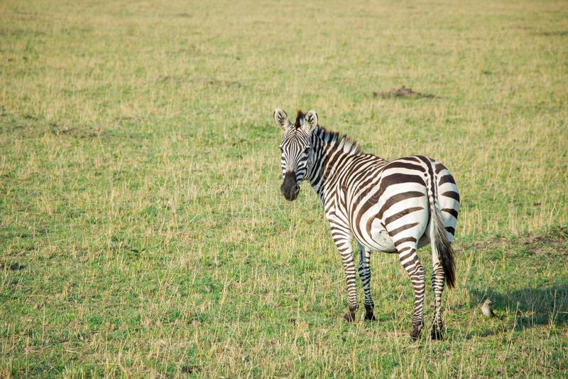 Única posição adulta da zebra e vista para a câmera fotos de stock