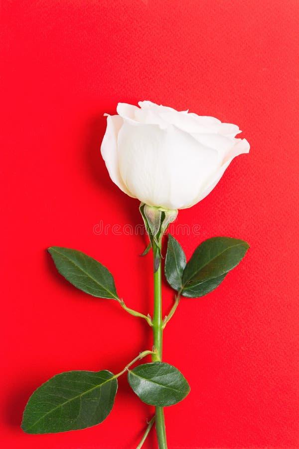 Única rosa branca fresca com as folhas verdes no fundo vermelho para o evento do feriado fotografia de stock